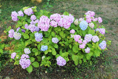 Hydrangea macrophylla Stock Image