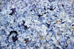 Hydrangea macrophylla. Know as Hortencia flower detail Stock Image
