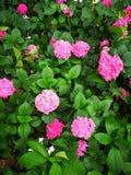 Hydrangea macrophylla. A large blossom Hydrangea macrophylla flowers Royalty Free Stock Image