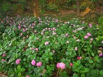 Hydrangea macrophylla. A large blossom Hydrangea macrophylla flowers Stock Image