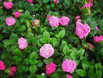 Hydrangea macrophylla. A large blossom Hydrangea macrophylla flowers Stock Images