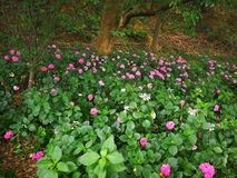 Hydrangea macrophylla. A large blossom Hydrangea macrophylla flowers int the forest Royalty Free Stock Image