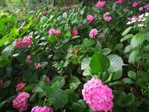Hydrangea macrophylla. A large blossom Hydrangea macrophylla flowers int the forest Stock Image