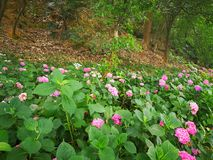 Hydrangea macrophylla. A large blossom Hydrangea macrophylla flowers int the forest Stock Photography