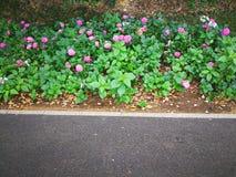 Hydrangea macrophylla. A large blossom Hydrangea macrophylla flowers roadside Royalty Free Stock Image