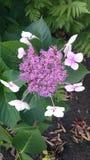 Hydrangea macrophylla Mariesii Lilacina Stock Image