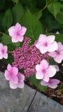 Hydrangea macrophylla Mariesii Lilacina Stock Photography