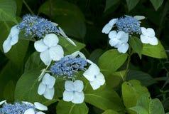 Hydrangea macrophylla Mariesii Royalty Free Stock Photography