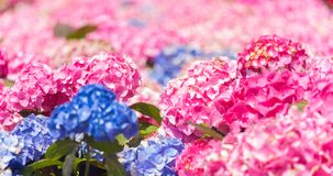 Hydrangea macrophylla or Ortensia dei fioristi. Hydrangea macrophylla is a species of flowering plant in the family Hydrangeaceae, native to Japan. Common names royalty free stock photo