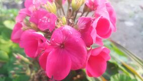 Hydrangea macrophylla  pink flowers close up pic
