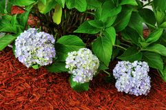 Hydrangea Macrophylla Plant. In shades of blue and lavender Royalty Free Stock Image