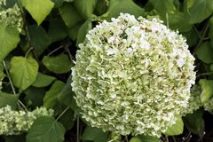 Hydrangea macrophylla - plant in the family Hydrangeaceae, native to Japan. Known as bigleaf, French, lacecap or mophead hydrangea, penny mac and hortensia royalty free stock images