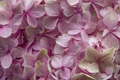 Hydrangea macrophylla Royalty Free Stock Photos
