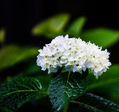 Hydrangea macrophylla. After rain, the white flower looks more beautiful Hydrangea macrophylla Stock Images