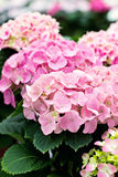 Hydrangea macrophylla. Hydrangea, soft focus, noise added. Beautiful flowers. Beauty in nature.  Hydrangea macrophylla - Beautiful bush of hydrangea flowers in a Royalty Free Stock Photography