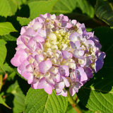 Hydrangea macrophylla. Is species of flowering plant in family Hydrangeaceae royalty free stock photos