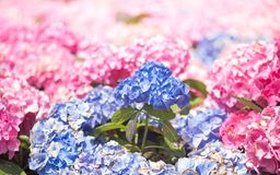 Hydrangea macrophylla or Ortensia dei fioristi. Hydrangea macrophylla is a species of flowering plant in the family Hydrangeaceae, native to Japan. Common names royalty free stock images