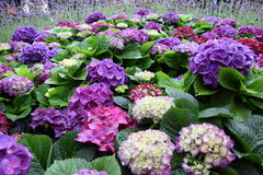 Hydrangea Macrophylla Thunb in Garden. Natural pretty purple Hydrangea Macrophylla Thunb in Garden with green leaf. This flower is easy to grow. it gives fresh Stock Photo
