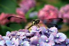 Hydrangea mit einer Libelle Stockfotografie