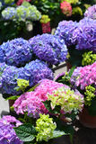 Hydrangea mix Royalty Free Stock Photos