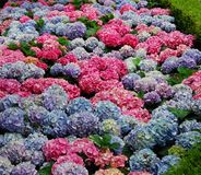 Hydrangea in Multi Colors Royalty Free Stock Photo