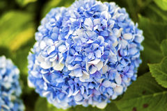 Hydrangea in natural forest. Royalty Free Stock Photo