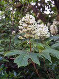 hydrangea oakleaf Στοκ Εικόνες