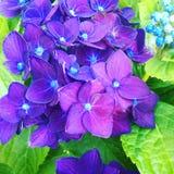 Hydrangea púrpura Fotos de archivo