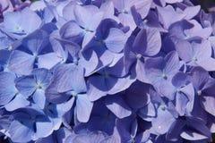 Hydrangea púrpura y azul Fotografía de archivo