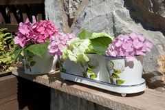 Hydrangea in pail Stock Photography