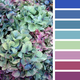 Hydrangea palette. A background of hydrangea flowers, in a colour palette with complimentary colour swatches vector illustration