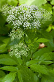 The Hydrangea paniculata. The photo of the Hydrangea Paniculata flower at spring Stock Image
