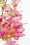 Hydrangea paniculata against white background Stock Photos