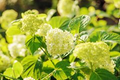 Hydrangea paniculata bush in summer garden Royalty Free Stock Photos