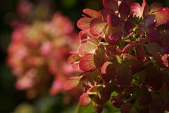Hydrangea paniculata Diamond Rouge. Hydrangea paniculata, the panicled hydrangea, is a species of flowering plant in the family Hydrangeaceae stock image