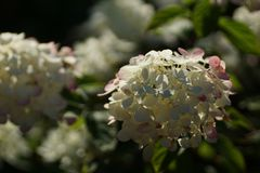 Flowering of a beautiful hydrangea. Hydrangea paniculata Diamond Rouge. Hydrangea paniculata, the panicled hydrangea, is a species of flowering plant in the royalty free stock image