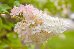 Hydrangea paniculata Royalty Free Stock Photography