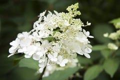 Hydrangea paniculata Royalty Free Stock Images