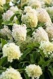 Hydrangea paniculata Limelight Stock Photo
