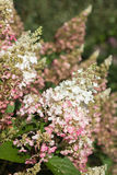 Hydrangea paniculata ' Pinky Winky. Beautiful hydrangea paniculata ' Pinky Winky heritage in the morning sun Stock Photo