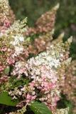 Hydrangea paniculata ' Pinky Winky. Beautiful hydrangea paniculata ' Pinky Winky heritage in the morning sun stock photo