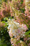 Hydrangea paniculata  Pinky Winky. Beautiful hydrangea paniculata  Pinky Winky heritage in the morning sun Stock Images