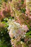 Hydrangea paniculata Pinky Winky. Beautiful hydrangea paniculata Pinky Winky heritage in the morning sun stock images