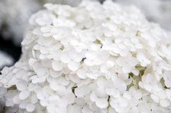 Hydrangea paniculata Royalty Free Stock Photo