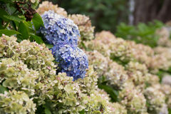 Hydrangea that passe. It is a hydrangea that passe Stock Photography