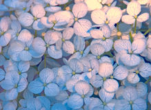 Hydrangea Petals Pale Blues and Pinks Stock Photo
