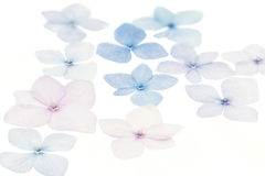 Hydrangea petals on white background Stock Photos