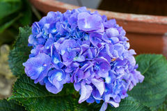 Hydrangea. This photo are Hydrangea planting in  Intanon moutain Thailand Stock Photos