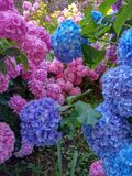 Hydrangea is pink, blue, lilac, purple bushes of flowers are blooming in spring and summer at sunset in town garden. stock image