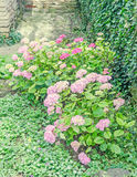 Hydrangea pink bush flowers, common names hydrangea or hortensia Stock Images